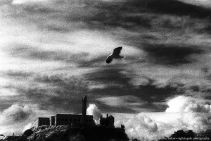 Alcatraz Gull