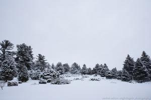 Wintering Pines