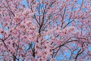 Spring Blossoms in Pink against Blue