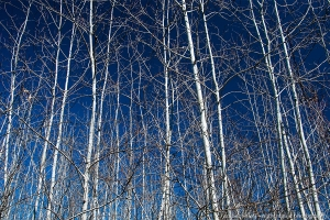 Birches in the Blue