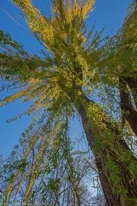 Reaching Willow