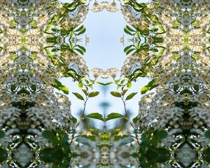 Bridal Wreath Matron