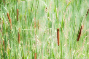 Frogpond Cattails